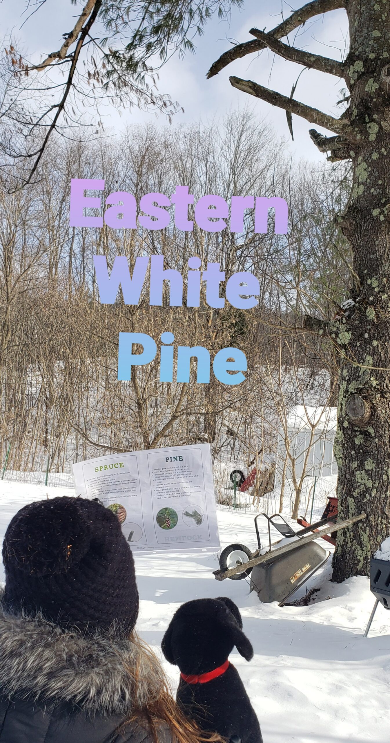 Great example to identify pine tree
